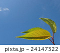 エコイメージ新緑の若葉 24147322