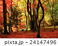 紅葉 落葉 秋の写真 24147496