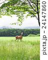 蝦夷鹿 鹿 野生動物の写真 24147860