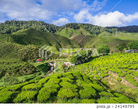 Tea plantation in the Cameron highlands 24149795