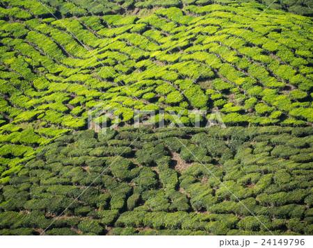 Tea plantation in the Cameron highlands 24149796