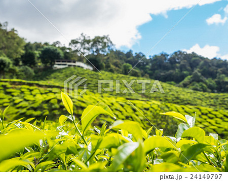 Tea plantation in the Cameron highlands 24149797