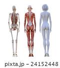 女性 解剖 筋肉 3DCG イラスト素材 24152448
