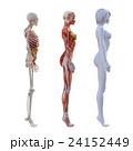 女性 解剖 筋肉 3DCG イラスト素材 24152449