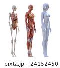 女性 解剖 筋肉 3DCG イラスト素材 24152450