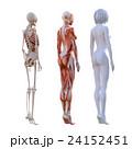 女性 解剖 筋肉 3DCG イラスト素材 24152451