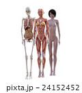 女性 解剖 筋肉 3DCG イラスト素材 24152452