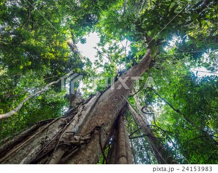 Old giant rain tree 24153983