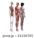 女性 解剖 筋肉 3DCG イラスト素材 24156765