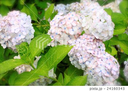 キュートな紫陽花 24160343