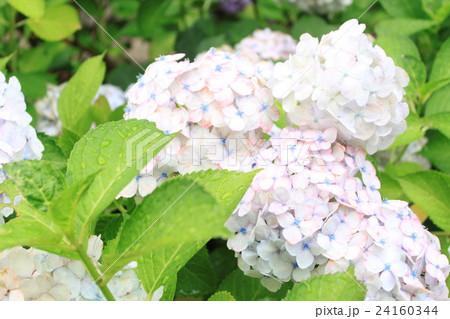 雨上がりの紫陽花 24160344
