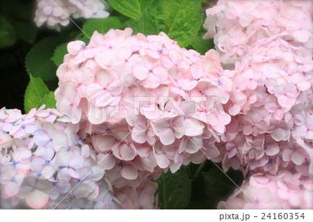 ピンク色のあじさい 24160354