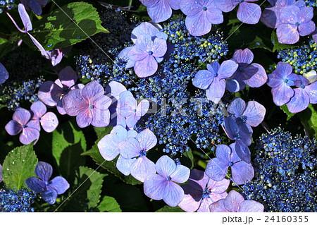 雨上がりの額紫陽花 24160355