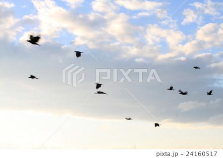 夕暮れ時に飛ぶカラス 24160517