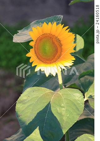 太陽の光を浴びる向日葵 24160518