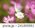 淡い桃色と純白のコスモスの群生(クローズアップ) 24160991