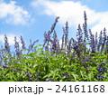 この青色の花はインディゴスパイヤーというサルビアの花 24161168