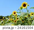 夏の花といえば黄色いヒマワリ 24161504