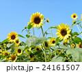 夏の花といえば黄色いヒマワリ 24161507