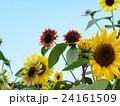 夏の花といえば黄色いヒマワリと変り咲きヒマワリ 24161509