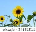 夏の花といえば黄色いヒマワリ 24161511