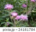 ニオイアザミの桃色の花 24161784