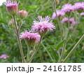 ニオイアザミの桃色の花 24161785