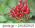 ペンタス 草山丹花 アカネ科の写真 24162015