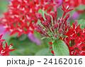 ペンタス 草山丹花 アカネ科の写真 24162016