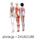 女性 解剖 筋肉 3DCG イラスト素材 24162186