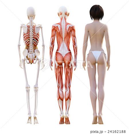 女性 解剖 筋肉 3dcg イラスト素材のイラスト素材 24162188 Pixta