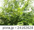いがの有る殻斗がまだまだ緑色のクリの木 24162628