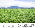 茨城県下妻市から見た夏の風景 夏の田園風景 24163187