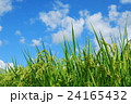 夏の稲穂 24165432