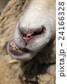羊の口 24166328