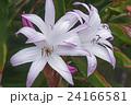 お花 フラワー 咲く花の写真 24166581