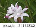 お花 フラワー 咲く花の写真 24166582