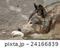 オオカミ横顔 24166839