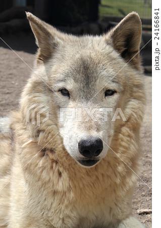 オオカミ正面顔 24166841