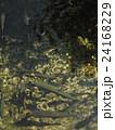 山梨県忍野村の忍野八海で泳ぐたくさんのニジマス 24168229