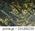 山梨県忍野村の忍野八海で泳ぐたくさんのニジマス 24168230