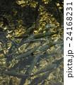 山梨県忍野村の忍野八海で泳ぐたくさんのニジマス 24168231