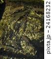 山梨県忍野村の忍野八海で泳ぐたくさんのニジマス 24168232
