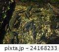 山梨県忍野村の忍野八海で泳ぐたくさんのニジマス 24168233