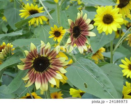大きい夏の変り咲きと黄色い花ヒマワリ 24186973
