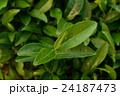 茶葉 24187473