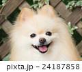 犬 ポメラニアン ポメの写真 24187858