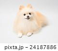 犬 ポメラニアン ポメの写真 24187886