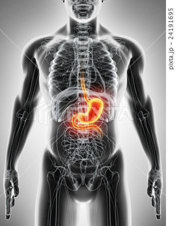 3D illustration of Stomach. 24191695