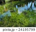 山梨県忍野村の忍野八海の透き通った水と水草とニジマス 24195799